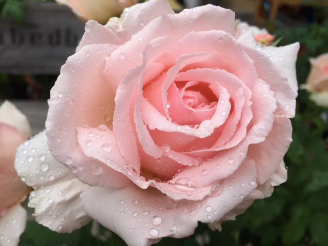Reiki kann heilen wie der Tau auf der zarten Rose.